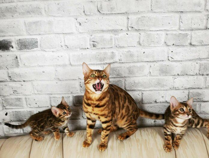 Trouvez le meilleur des chats, Le Bengal avec Jungle Kitten